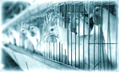 Оборудование для птицефермы